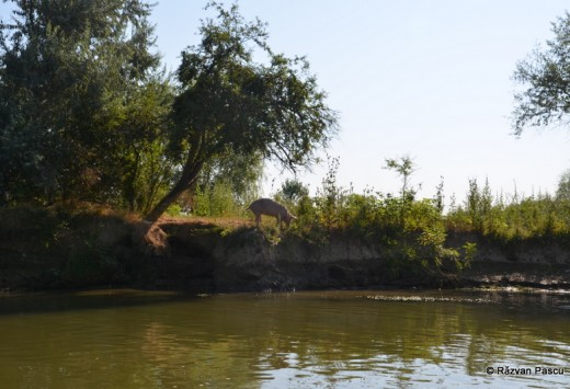 Delta Dunarii, Uzlina, Cormoran 20