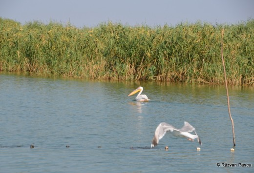 Delta Dunarii, Uzlina, Cormoran 28