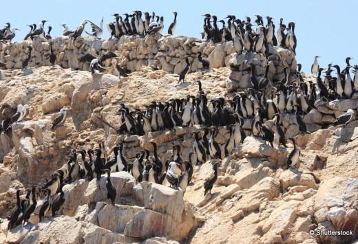 Paracas and the Ballestas Islands seabirds coast of peru pacific